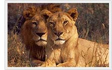 Asiatic Lions - Gir National Park