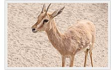 Chinkara - Indian Gazelle