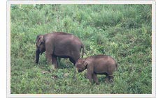Elephant - Periyar National Park