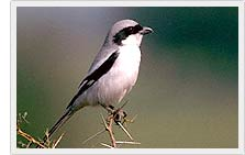 Grey Shrike Perches - Bharatpur Sanctuary