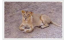 Lioness in Sasan Gir Wildlife