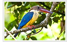 Stork Billed Kingfisher - Kumarakom bird Sanctuary